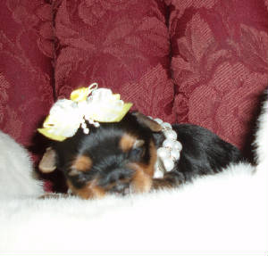 yorkie pupies for sale